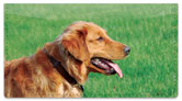 Golden Retriever Checkbook Cover