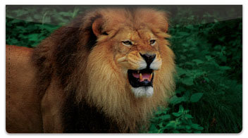 Lion Checkbook Cover