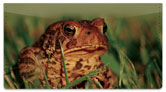 Toad Checkbook Cover