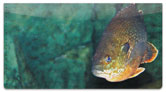 Bluegill Checkbook Cover