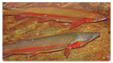 Trout Stream Checkbook Cover