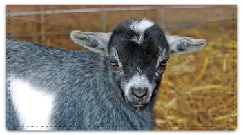 Baby Goat Checkbook Cover