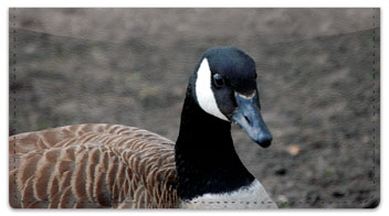 Canada Geese Checkbook Cover