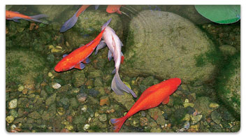 Koi Pond Checkbook Cover