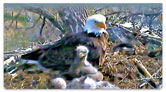 Nesting Eagle Checkbook Cover