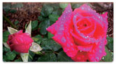 Blooming Rose Checkbook Cover
