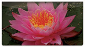 Fragrant Water Lily Checkbook Cover