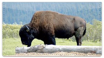 American Bison Checkbook Cover