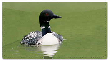 Common Loon Checkbook Cover