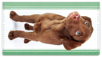 Chocolate Lab Pup Checkbook Cover